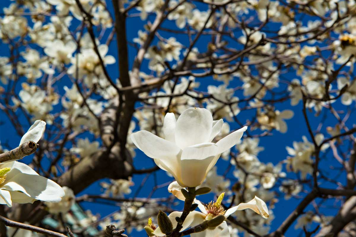 Sweet Magnolia flowers in Montreal
