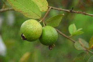 bioptimized-guava-innovacos