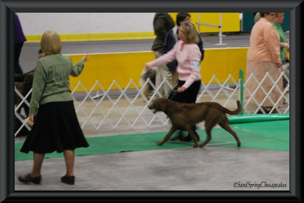 Glory at the AKC conformation show.
