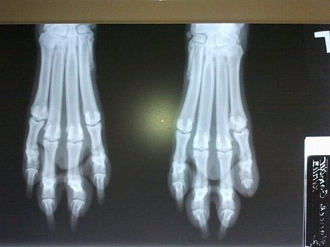 x-ray of my left front paw, put the right in with it for comparison.