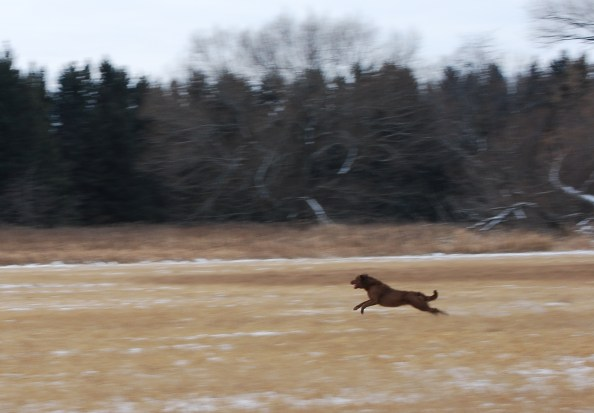 She really stretched her muscles on this retrieve.