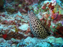 photo courtesy of simonesaponetto @ https://pixabay.com/en/moray-eel-maldives-sea-363626/