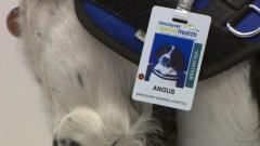 angus-id-badge