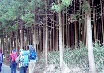 歩き出し林道脇の恐ろしく密集した杉林。