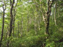 若木のブナ林