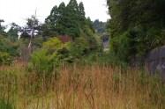 リフト跡の赤松、