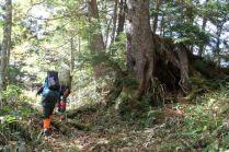 32 コメツガの大木