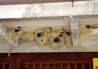 67 ツバメの巣を発見。