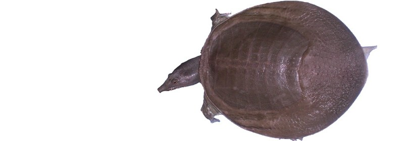 How researchers cracked the secrets of the turtle's shell and answered some of evolution's most intriguing puzzles
