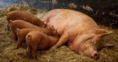Pigs' immune systems are similar to ours, making their genes a great model to understand human health and disease. But their position and function in the genome was unknown, until a group of annotators from around the world met up and decided to take matters into their own hands