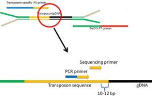 Only 1 in 10,000 library fragments contain transposon sequence (yellow). Bacterial genomic DNA (black) is attached to special adapters (green and tan).  The sequencing primer starts the sequencing process and attaches to the transposon about 10 bases away from genomic DNA.