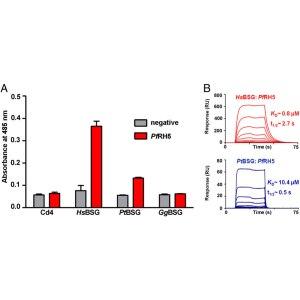 The binding of P. falciparum RH5 to primate Basigin proteins is species-specific. HsBSG= human BSG, PtBSG= chimpanzee (Pan troglodytes) BSG, GgBSG= Gorilla (Gorilla gorilla) BSG