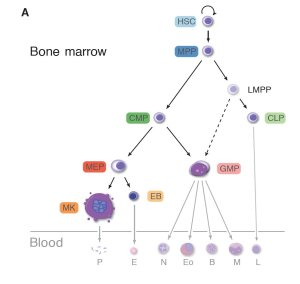 Figure from paper 3- The journey hematopoietic stem cells take as they mature and differentiate into different types of blood cell. Abbreviations are explained in full in the paper. [DOI: 10.1126/science.1251033]