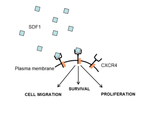 Cells resistant to iron deprivation express SDF-1, activating CXCR4. This stimulates the cellular pathways that strengthen cell survival and overcome cell death. Credit: Tony Jackson and Alena Pance