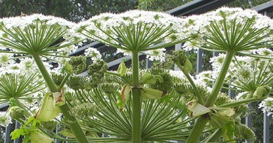 Giant Hogweed - one of the 25 genomes being read by the Wellcome Sanger Institute. Image credit: Appaloosa, Wikimedia Commons