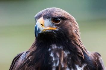 golden_eagle_blog_body