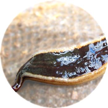 NZ_Flatworm350