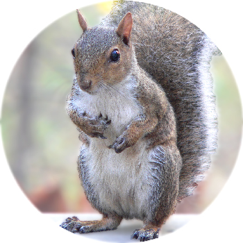 Sciurus_carolinensis2_grey_squirrel350