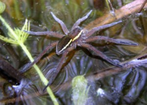 Fen Raft Spider - more popular than beavers, apparently. Image credit: Helen Smith, www.dolomedes.org.uk