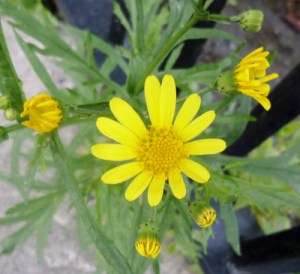 Is this the Oxford Ragwort you are looking for? The best way to know is take a picture and send it to an Oxford expert... Image credit: Rosser1954, Wikimedia Commons