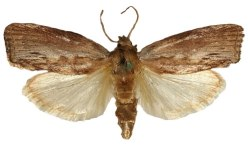 Galleria mellonella - the greater wax moth or honeycomb moth - is being used to investigate  pneumonia