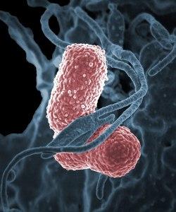 Klebsiella pneumoniae bacteria. Image credit: NIAID