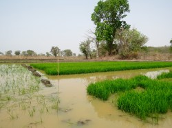 Rice fields between Chiana and Navrongo - where mosquitoes breed