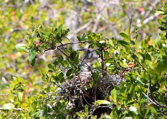 Birds nest on Sanibel Bayou (photo by David Anderson)