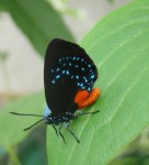coontie plant & butterfly
