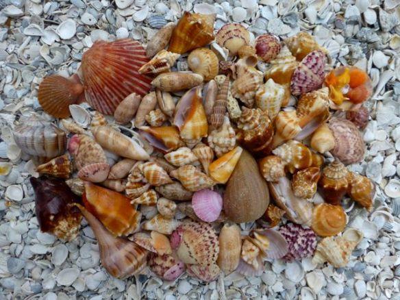 mid-August-Sanibel-shells