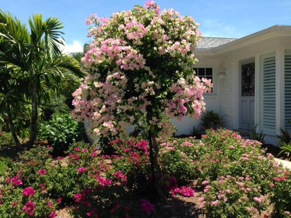 June 1 2015 my bougainvillea explosion