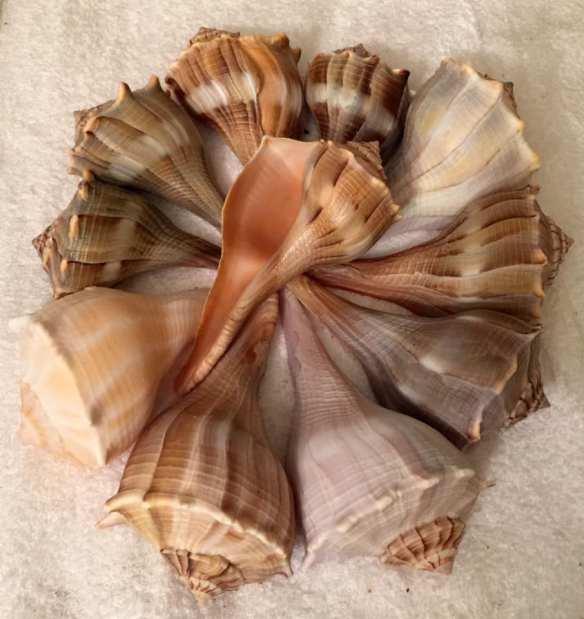 michael gillmore sanibel shell seekers
