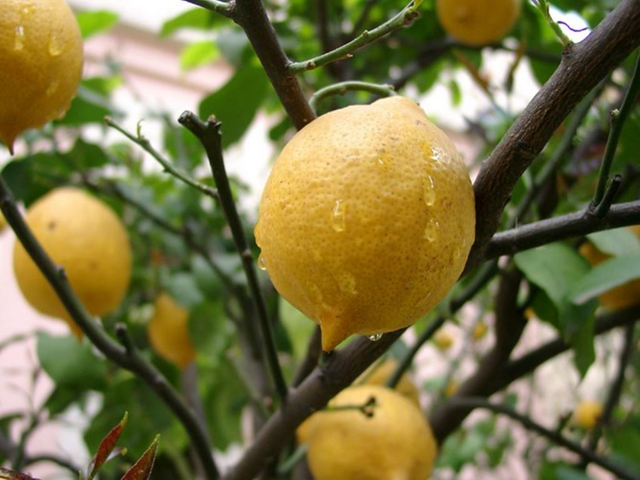 The Monster in the Lemon Tree