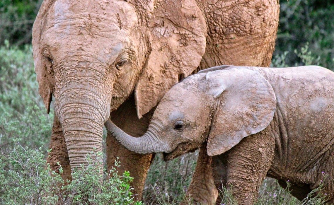 Language of Elephants