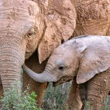 mom and baby elephant - addo - south africa
