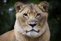 One of the Lioness's Jukani has taken in is blind in one eye due to human mistreatment