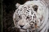Jukani Tiger