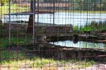 Big Cat Rescue pools