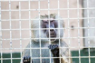 Alfie Olive Baboon