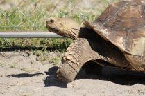 Suncoast Primate Sanctuary Tortoise