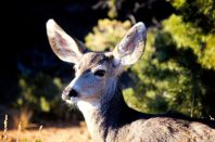 Grand Canyon Deer