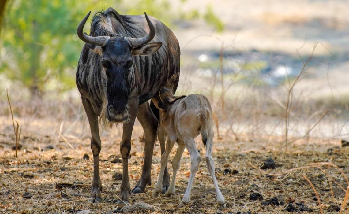 Safari West – A piece of Africa in California