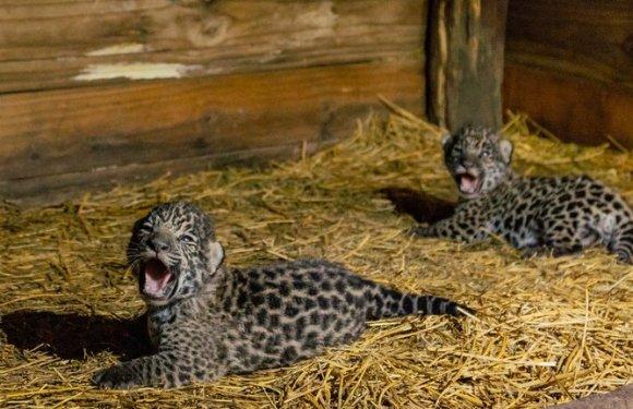 Nacieron dos yaguaretés y crece la esperanza de salvar a esta especie en peligro de extinción