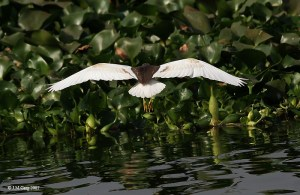 Indian_Pond_Heron_I_IMG_1098