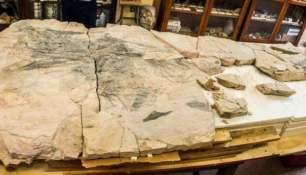 Investigadores de la UASLP exhibirán fósil de pez del jurásico
