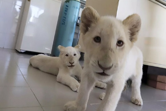 white lions2
