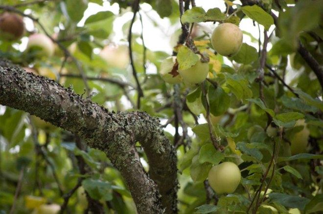 Äpplen utanför Tyresö Slott