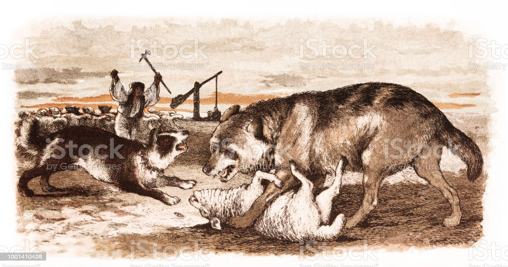 Illustration of a Shepherd and his dog protecting sheep attacked by wolf