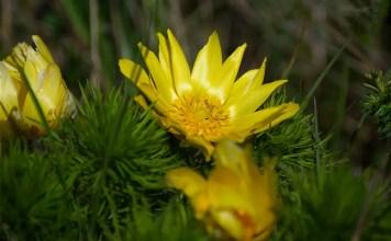 Горицвет Adonis vernalis L.