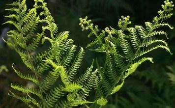 Орлова папрат Pteridium aquilinum (L.) Kuhn